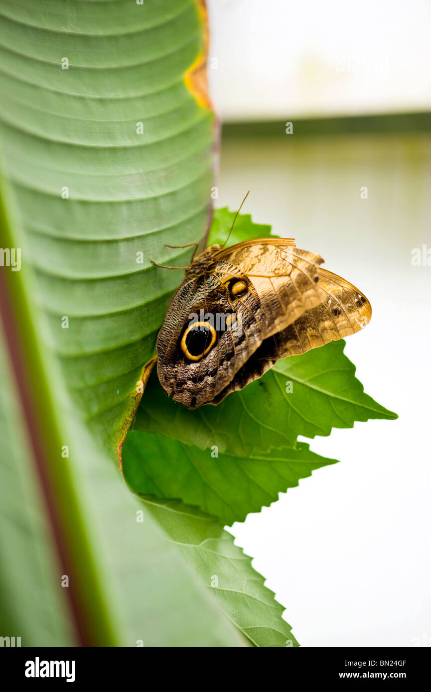 Golders Hill Park, Schmetterling Caligo Eurilochus oder die Eule wegen seiner Eule Auge Flügel Detail, thront Stockbild