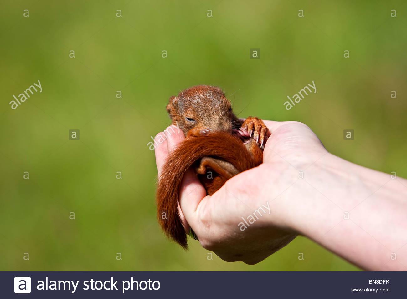 Eichhörnchen, junge Liebe, in einer hand Stockbild