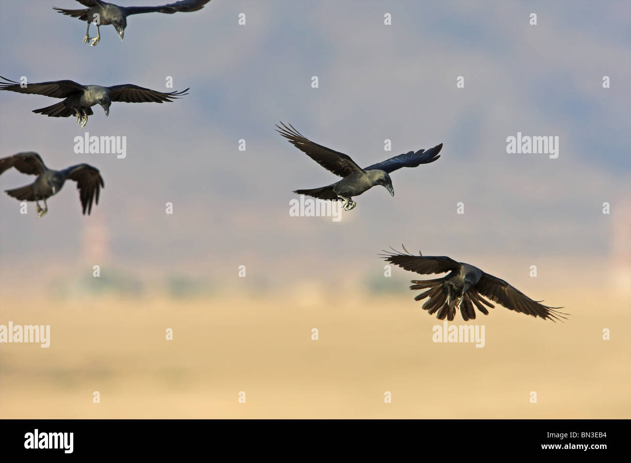 Haus Krähen (Corvus Splendens) fliegen, niedrigen Winkel Ansicht Stockbild