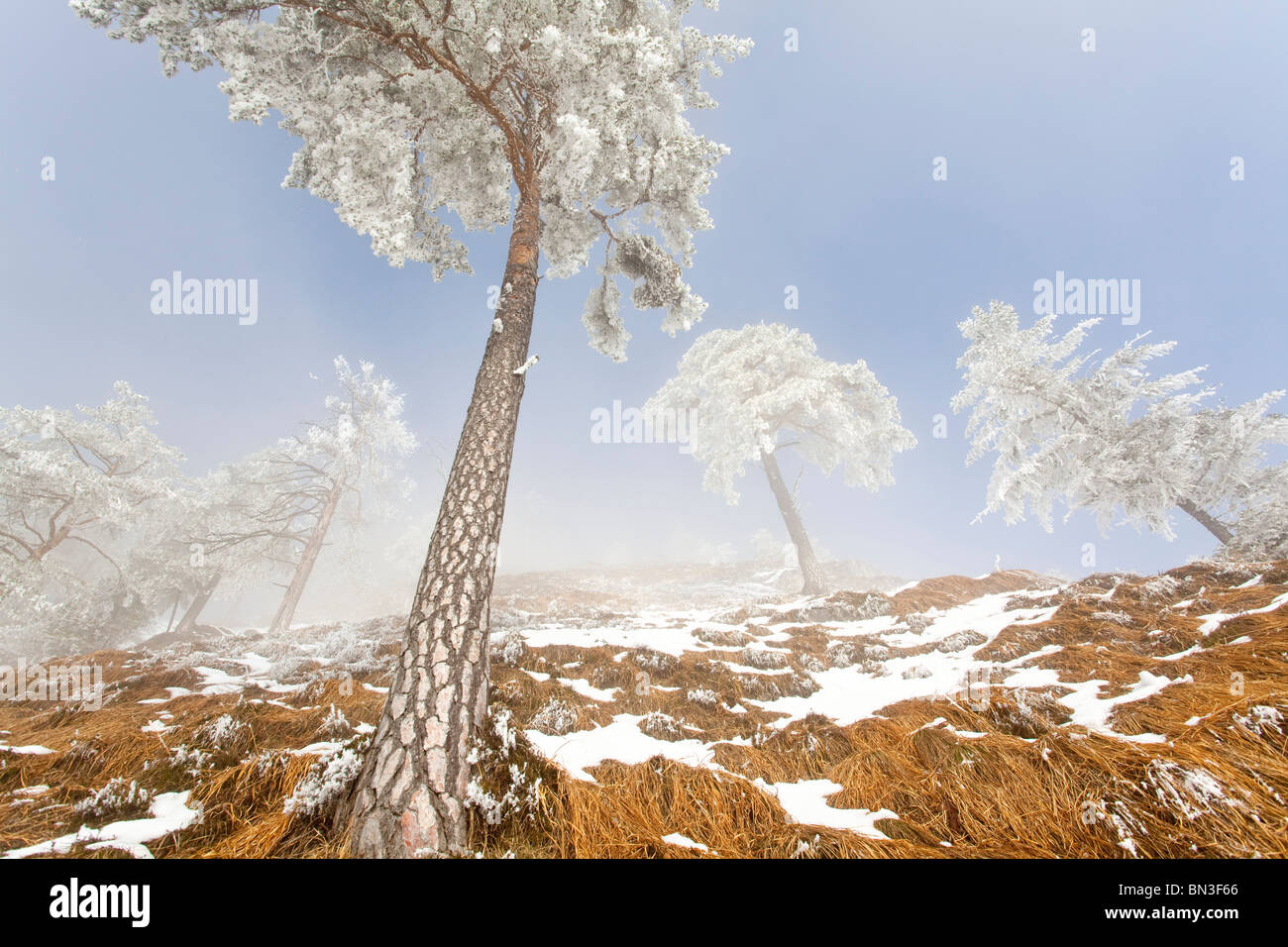 Verschneiten Kiefern (Pinus Sylvestris) am Untersberg, Berchtesgaden, Deutschland, niedrigen Winkel Bergblick Stockbild