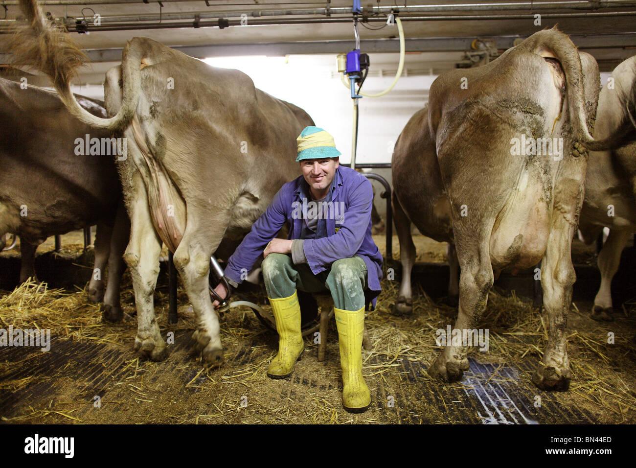Bauer stellt eine Melkmaschine auf eine Kuh Euter, Jerzens, Österreich Stockbild