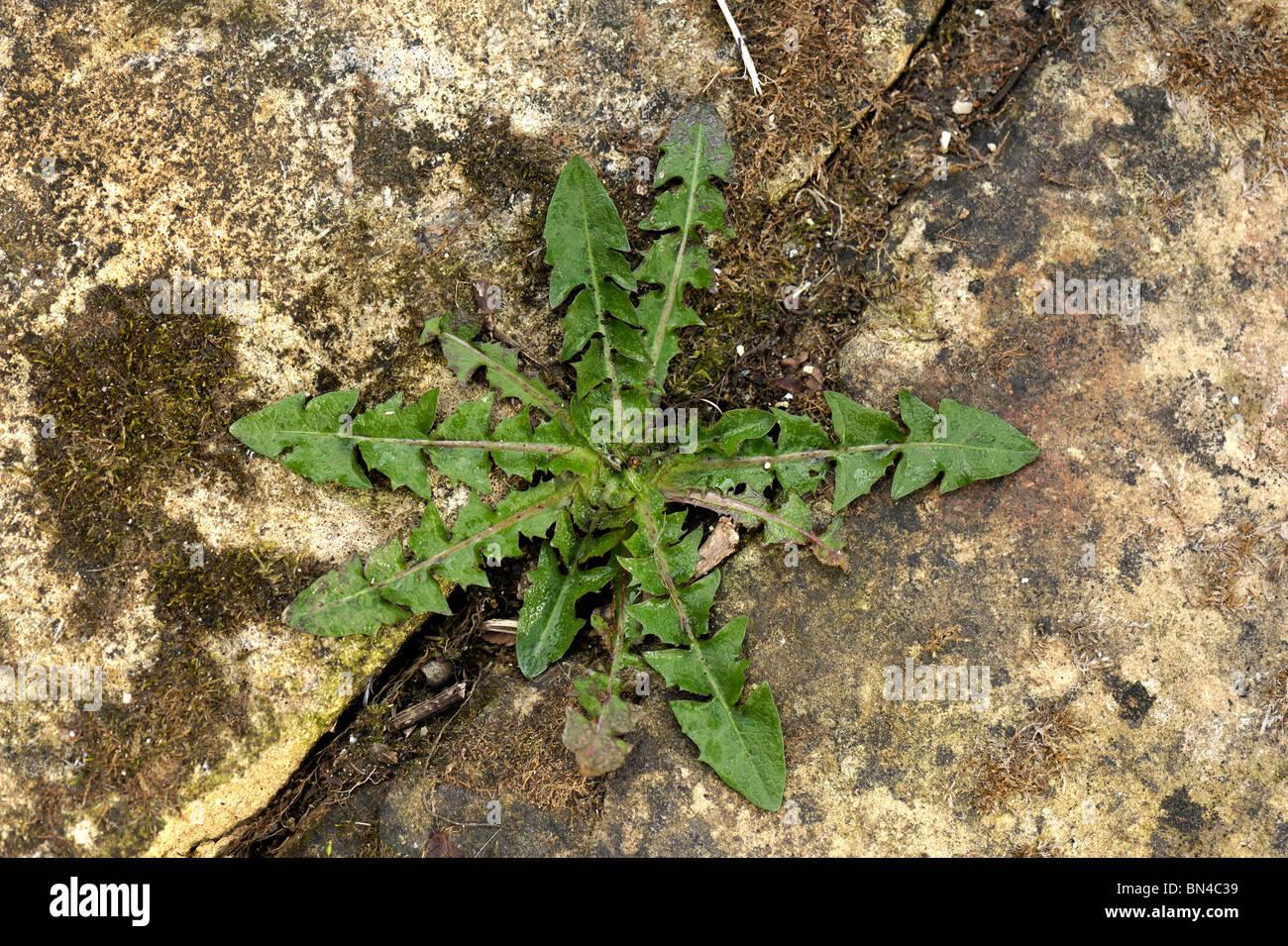 Ein Löwenzahn (Taraxacum Officinale) Pflanze Rosette wachsenden Beteen Pflastersteine in einem Garten Stockbild