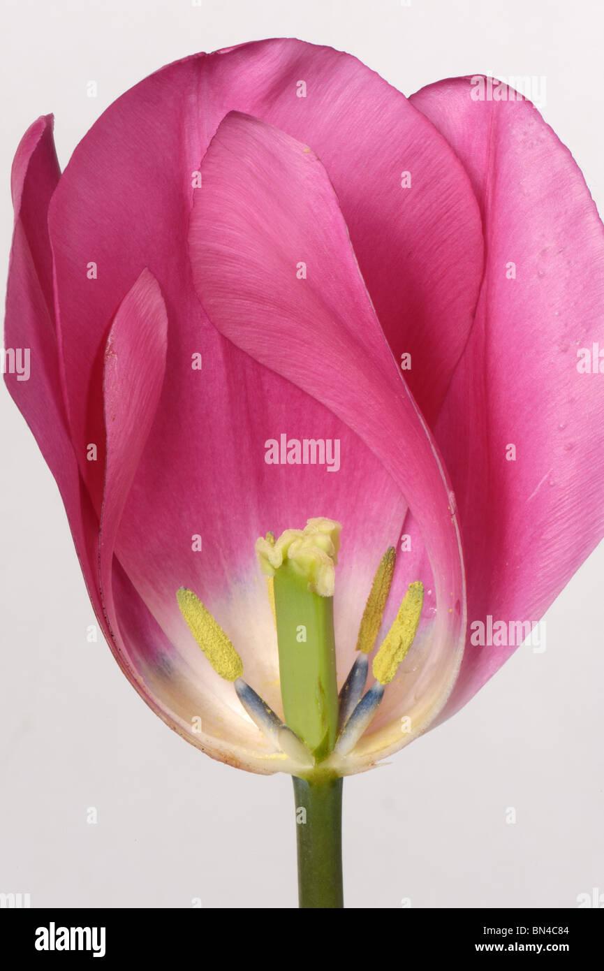 Schnitt durch eine Tulpe Blume rosa China Struktur zeigen Stockbild