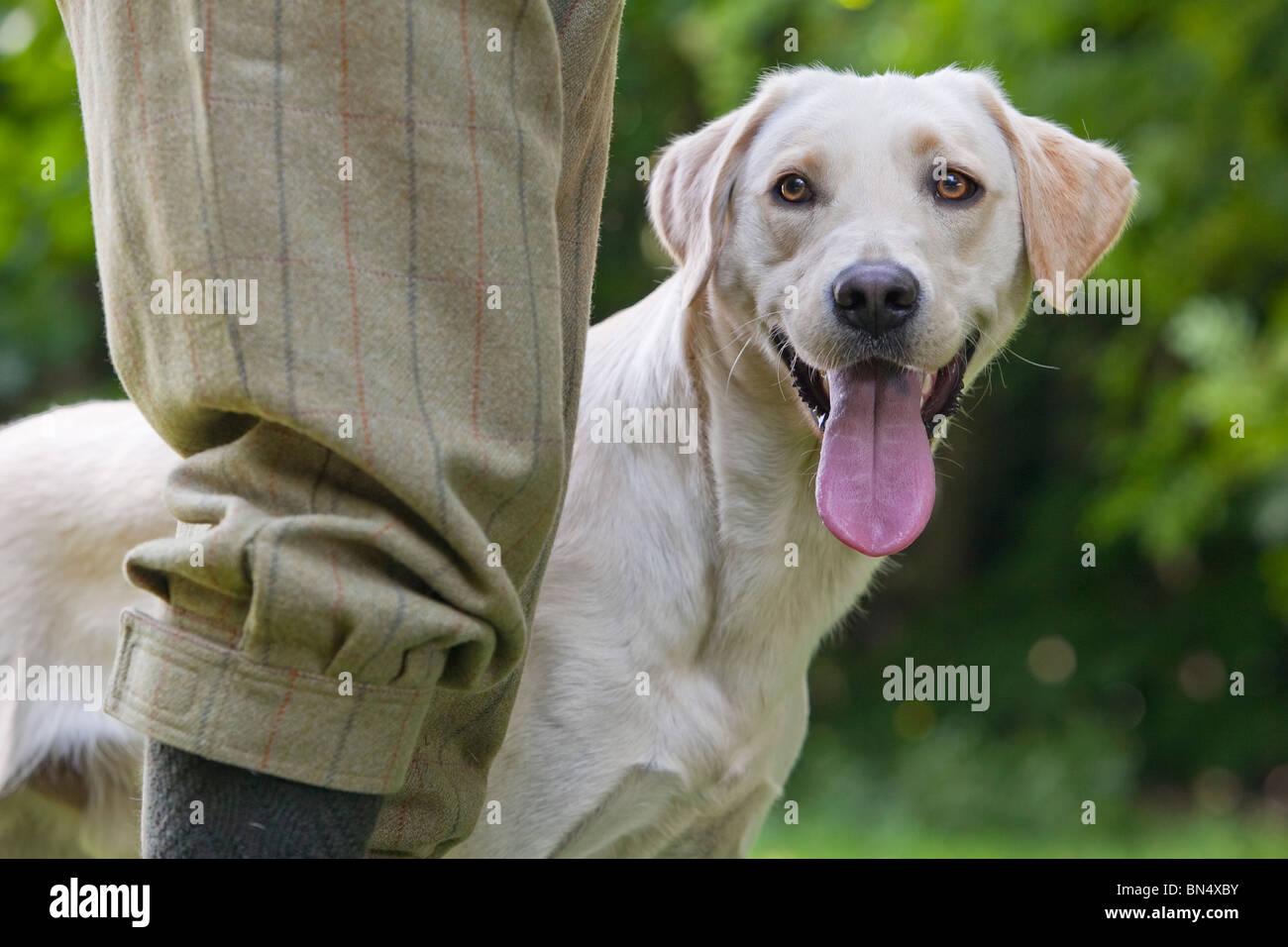 Ein gelber Labrador Retriever Gebrauchshund warten auf ihre Besitzer Bein Stockfoto