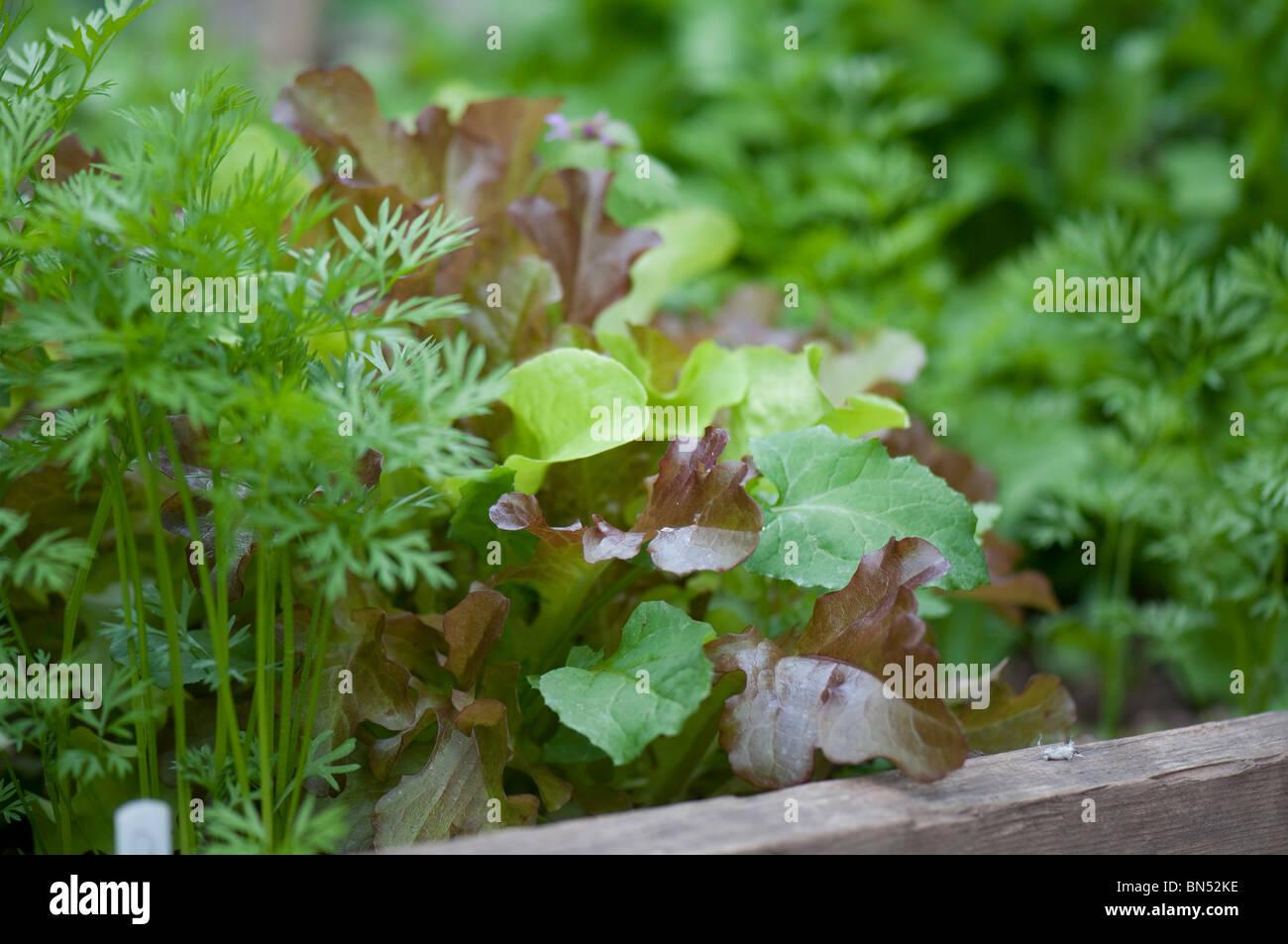 Salat Pflanzen In Einem Hochbeet Stockfoto Bild 30230018 Alamy
