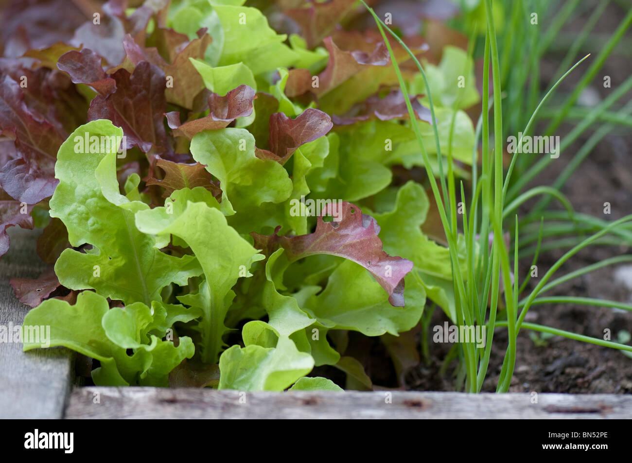 Salat Pflanzen In Einem Hochbeet Stockfoto Bild 30230102 Alamy