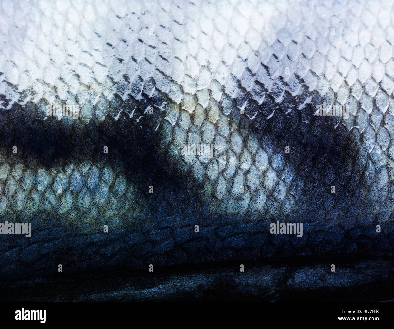 Nahaufnahme der Makrele Fisch Schuppen zeigen Details und Muster. Stockbild