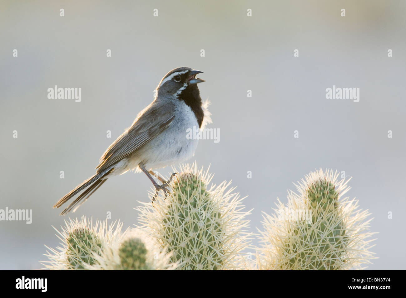 Black-throated Spatz singen auf Cholla Cactus Stockbild