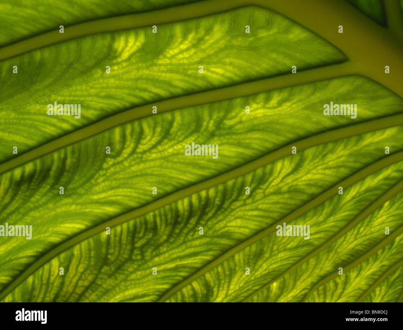 Makroaufnahme des Pflanzenblattes. Sonnenlicht shinning durch eine Pflanze Blatt zeigt detailliert, komplizierte Stockbild