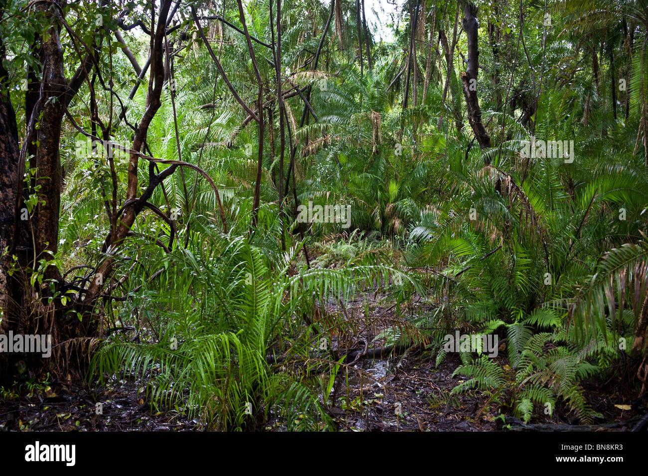 Tropischer Regenwald in der Nähe von Victoria Falls in Zimbabwe Stockbild
