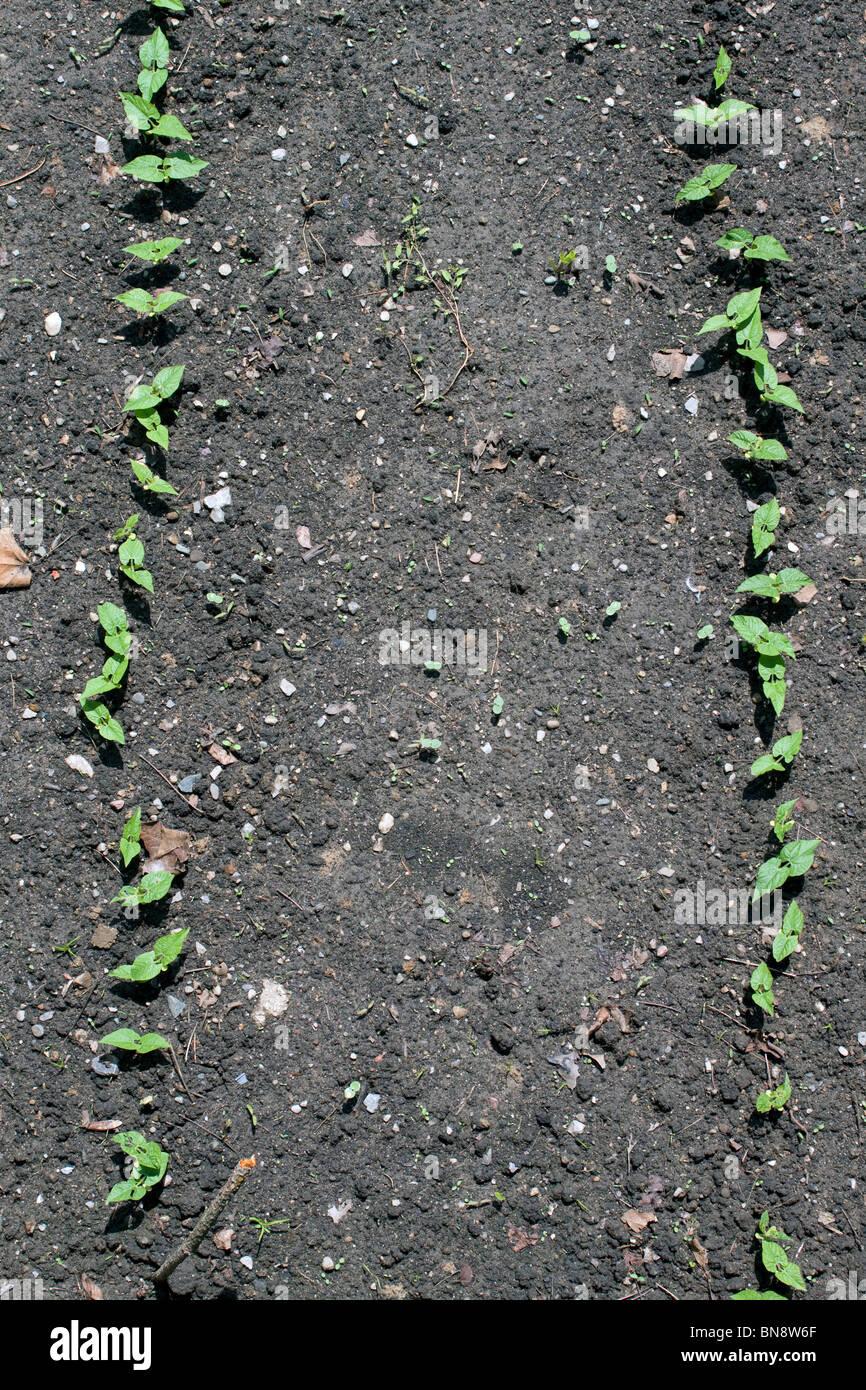 Keimen grüne Bohnen Pflanzen (Phaseolus Sorte) im Gemüsegarten, Michigan USA Stockbild