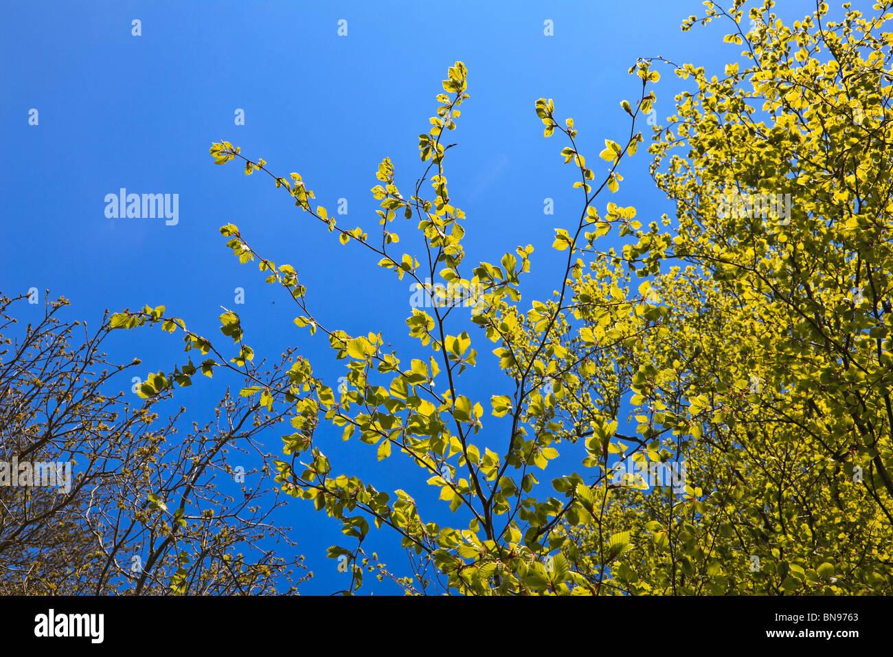 Hell gelb grün Hazel Blätter mit Insekten Summen um und auf ihnen vor blauem Himmel Stockbild