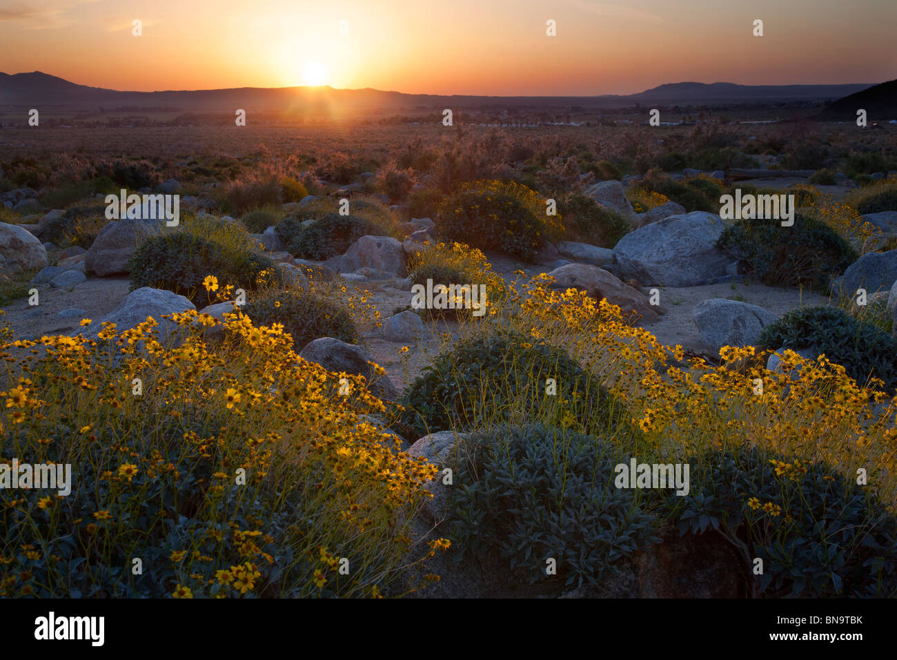 Wildblumen in Borrego Palm Canyon, Anza-Borrego Desert State Park, Kalifornien. Stockbild