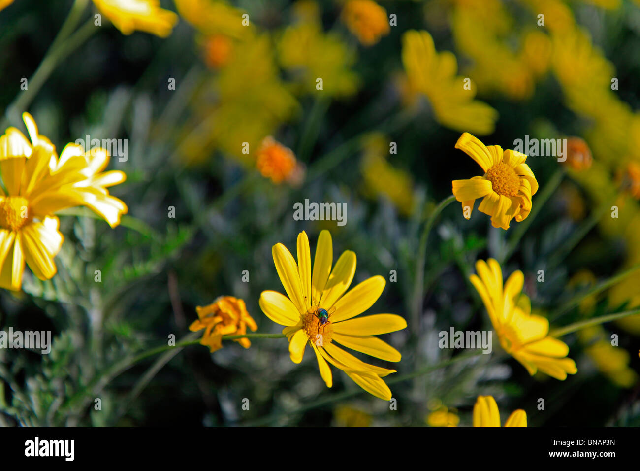 Ursinia stockfotos ursinia bilder alamy for Kleine fliegen blumen