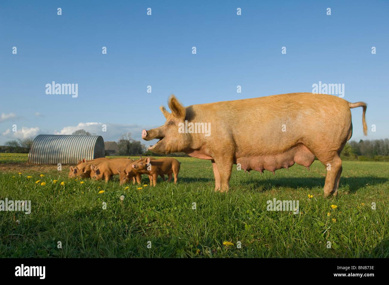 Im Bereich Schwein Stockbild