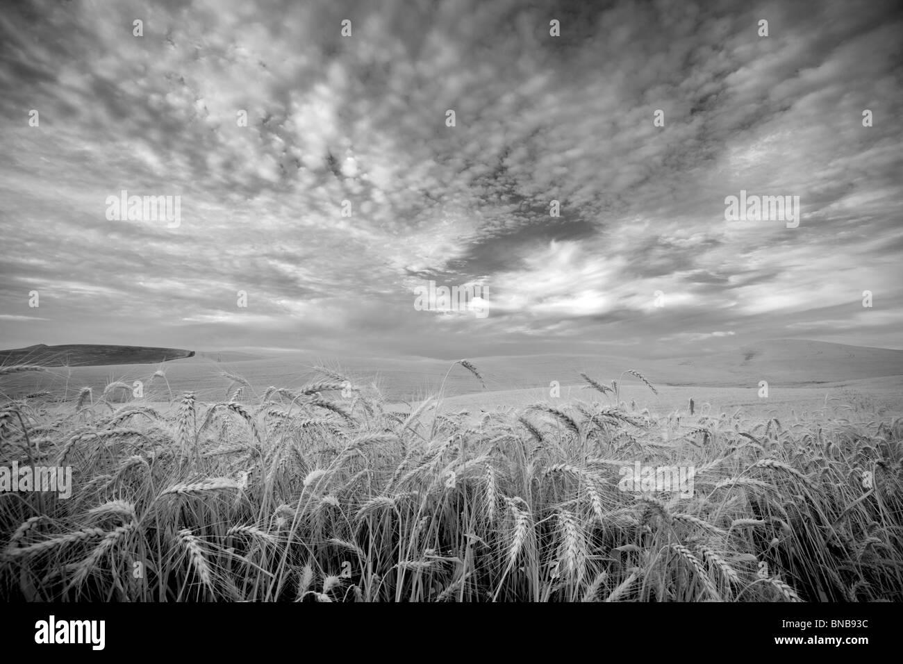 Weizenfeld und Wolken. Palouse, Washington Stockbild