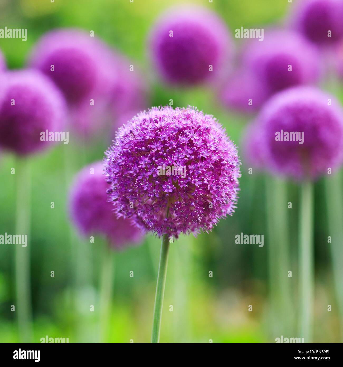 Lila Allium Blumen, englische Gärten, Assiniboine Park, Winnipeg, Manitoba, Kanada. Stockbild