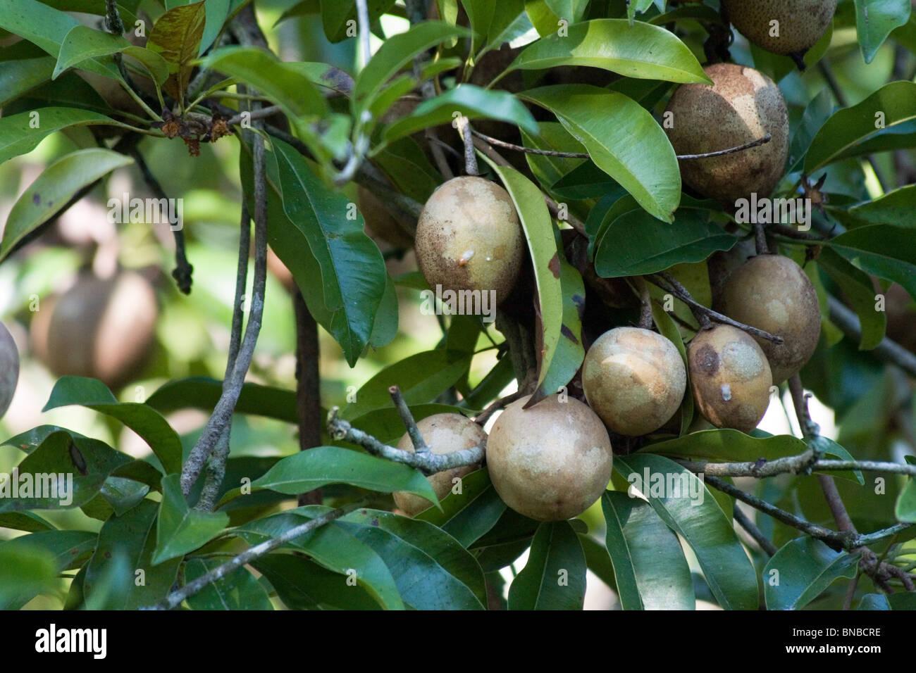 Longan Obstbaum mit Reifen Longans, Thailand Stockbild