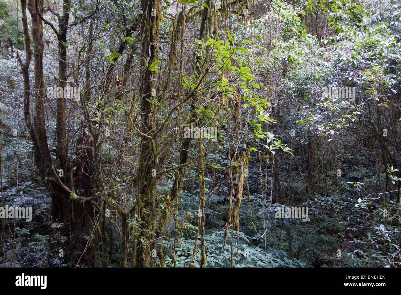 Montane Wald in einem feuchten Sphagnum Moor, Ang Ka Naturlehrpfad, Doi Inthanon Nationalpark, Thailand Stockbild