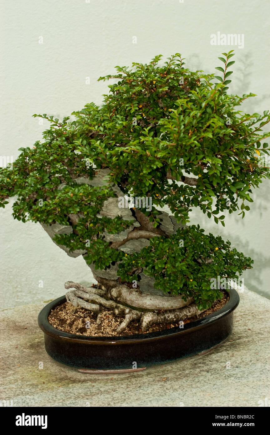 chinesische ulme ulmus parvifolia auf ying tak stein. Black Bedroom Furniture Sets. Home Design Ideas