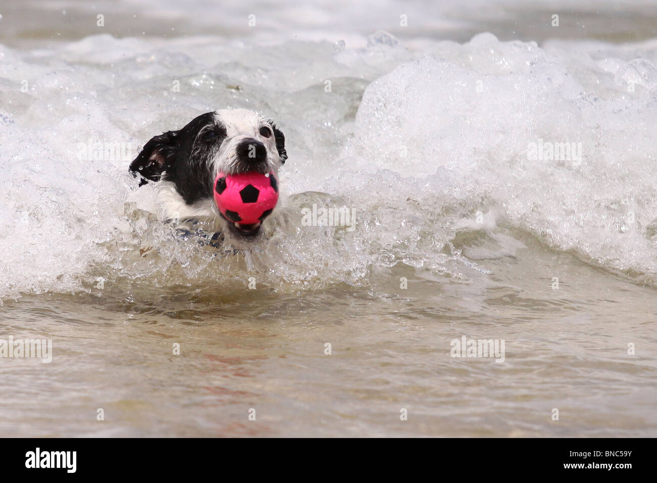 Jack Russell Hund Abrufen von seinen Ball aus dem Meer Stockfoto
