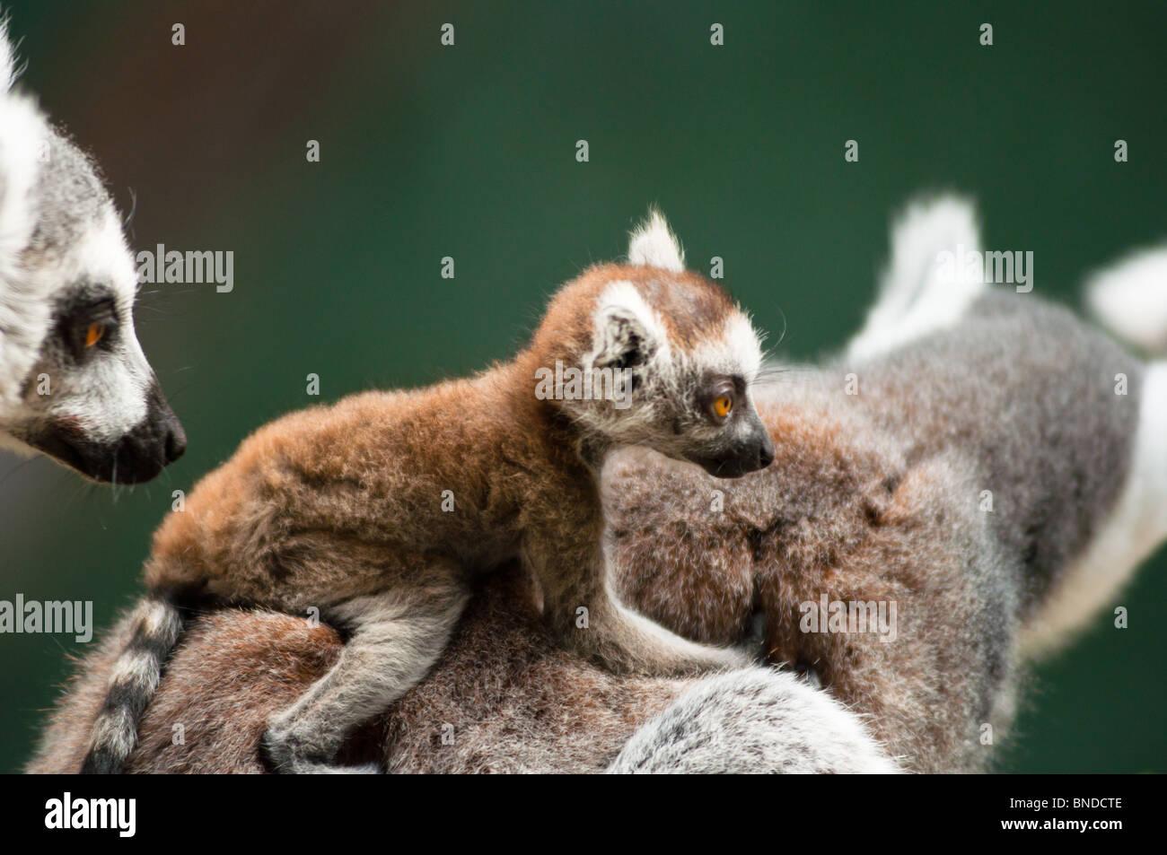 Baby Ring tailed Lemur auf Mutter zurück ist Stockbild