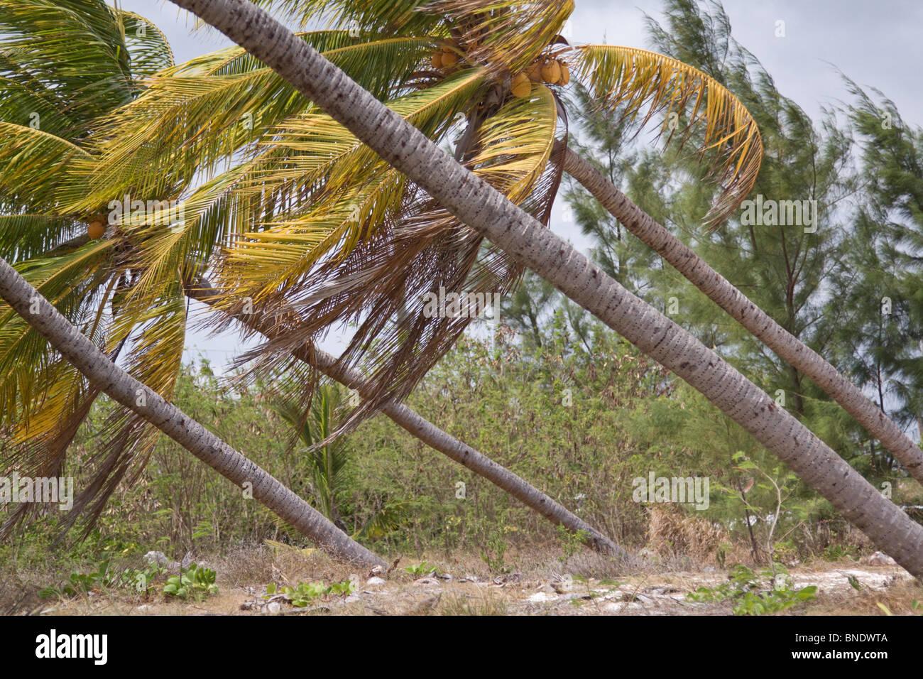 Kokospalmen wachsen auf einem 45-Grad-Winkel, beschädigt durch Hurrikan Winde, Grand Caymens, Karibische Meer. Stockbild