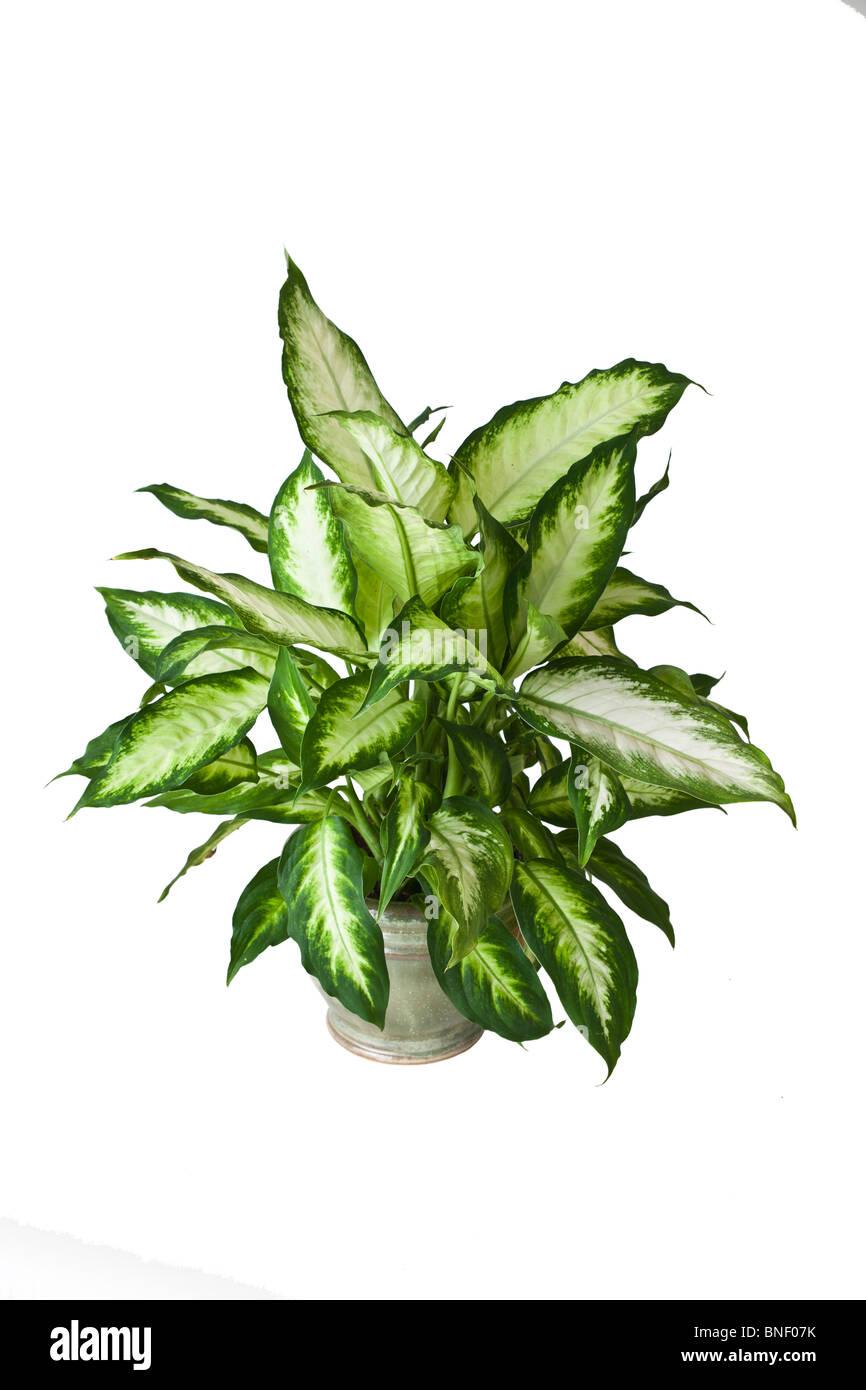plants poison plant stockfotos plants poison plant bilder alamy. Black Bedroom Furniture Sets. Home Design Ideas