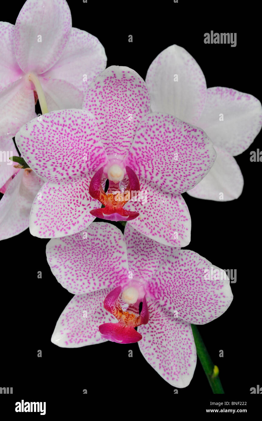 nahaufnahme von phalaenopsis orchideen stockfoto bild. Black Bedroom Furniture Sets. Home Design Ideas