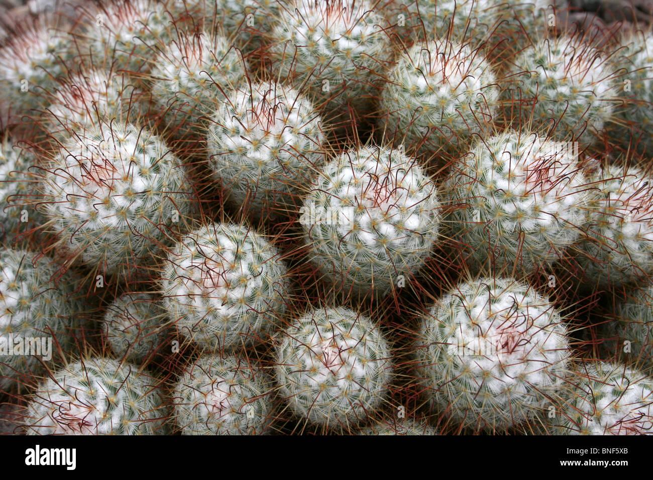 Nahaufnahme von Kaktus am Ness Botanical Gardens, Wirral, UK Stockfoto