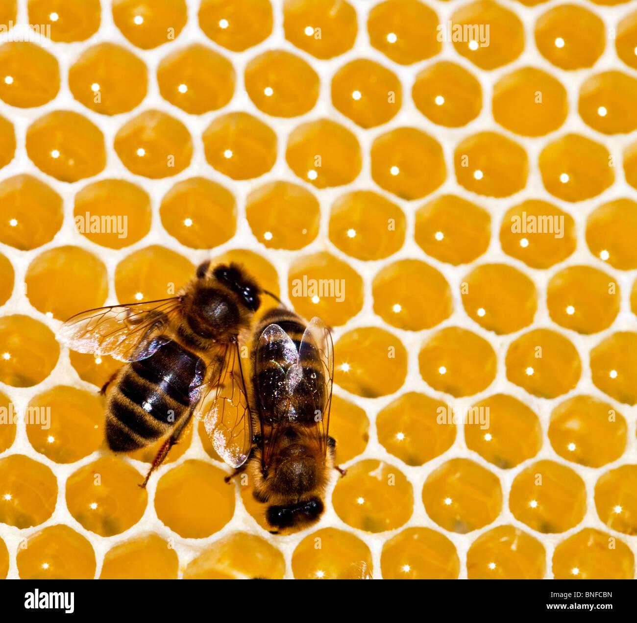 Zwei dunkle englischen Bienen auf einer Wabe Honig machen Stockbild