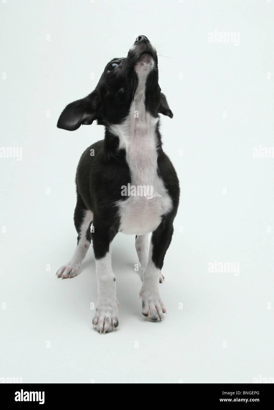 Fein Boston Terrier Färbung Seite Zeitgenössisch - Druckbare ...