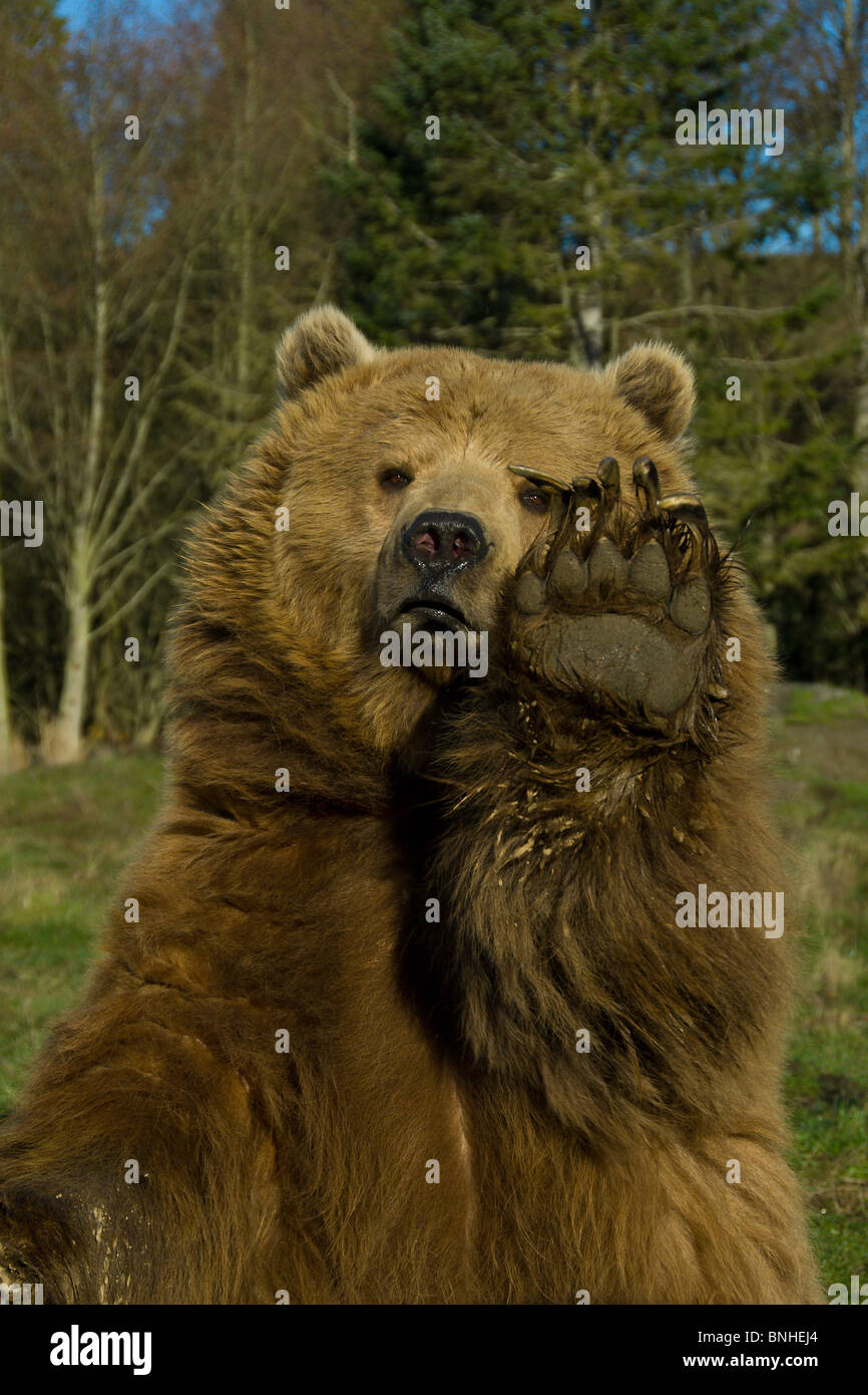 grizzly b r braunb r ursus arctos 2007 portrait lustig humor tatze pranke stockfoto bild. Black Bedroom Furniture Sets. Home Design Ideas
