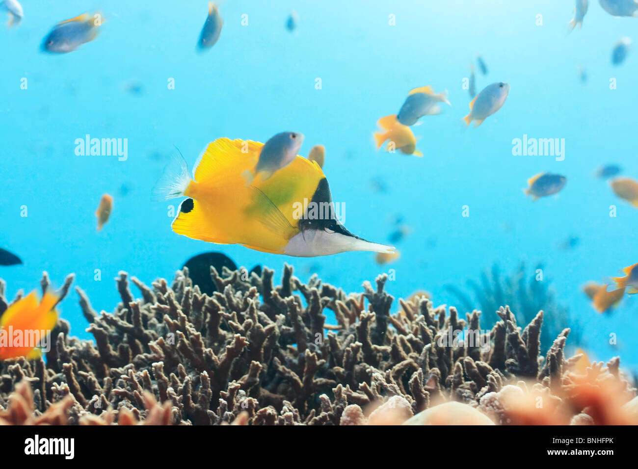 tropical fish yellow longnose butterflyfish stockfotos tropical fish yellow longnose. Black Bedroom Furniture Sets. Home Design Ideas