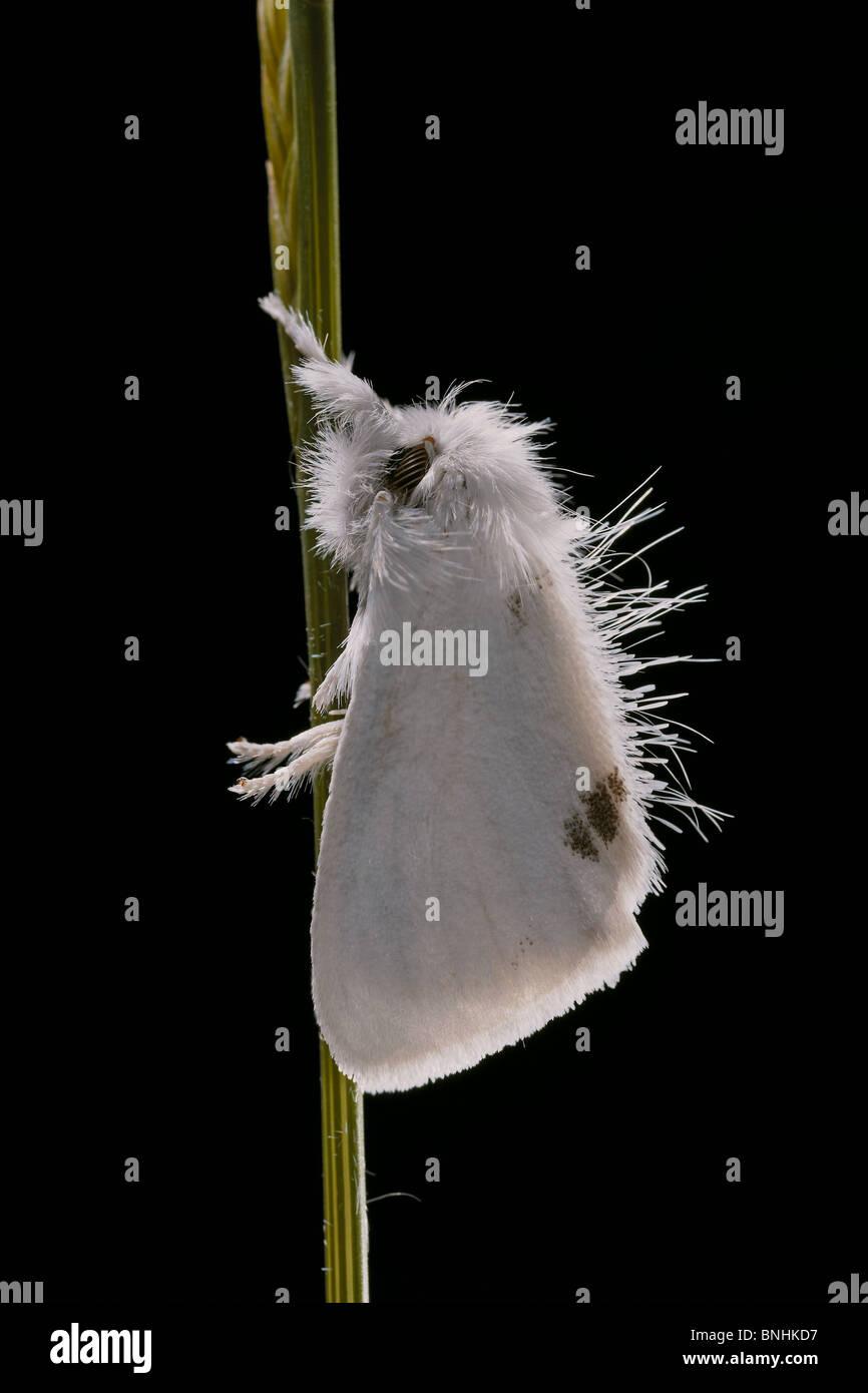 Gelb-Tail Euproctis Similis Tussock Moth Crowle Moor Natur behalten, Lincolnshire, UK. Stockbild
