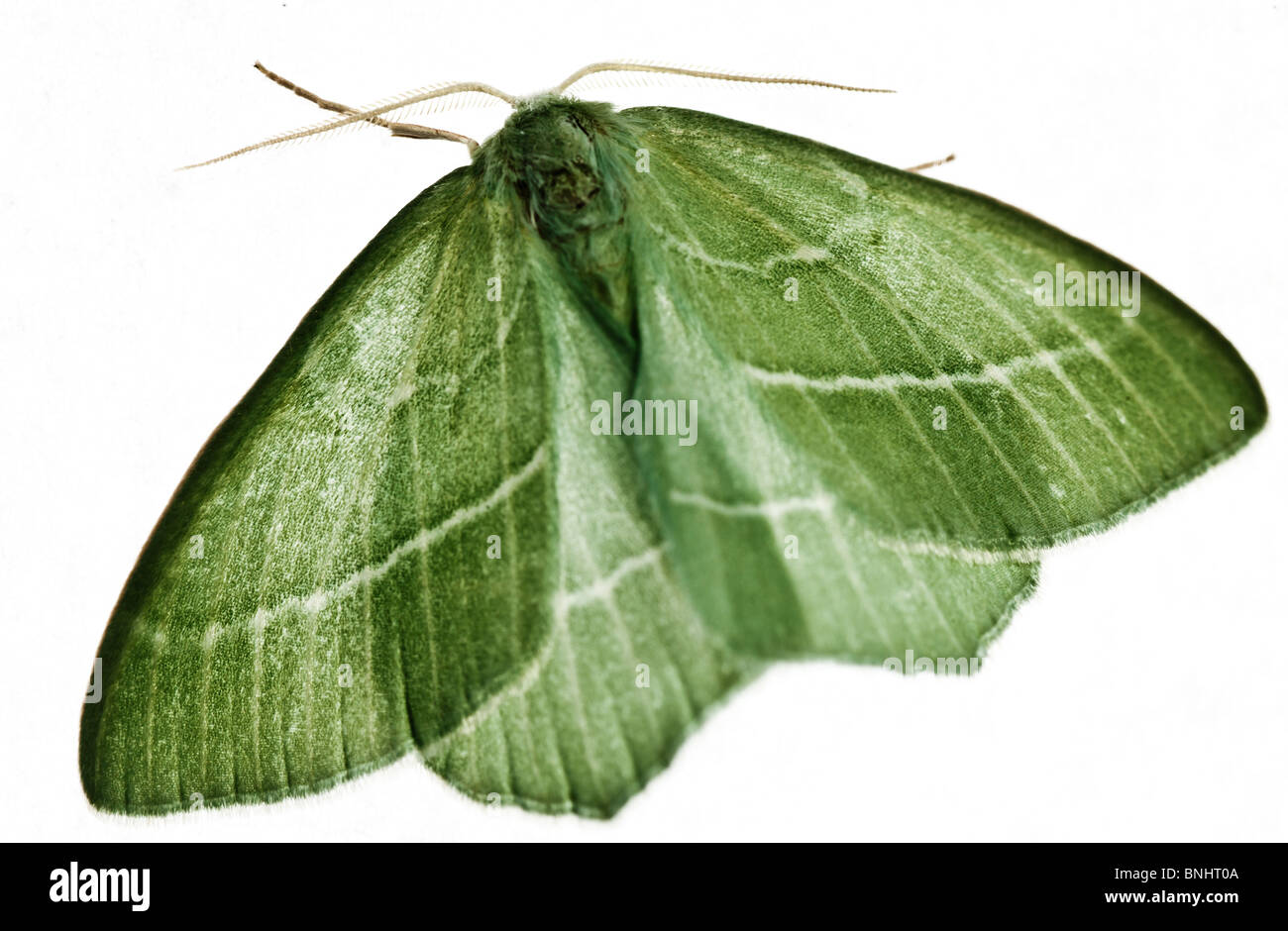 Geometra Papilionaria (großer Smaragd Nachtfalter) Stockbild