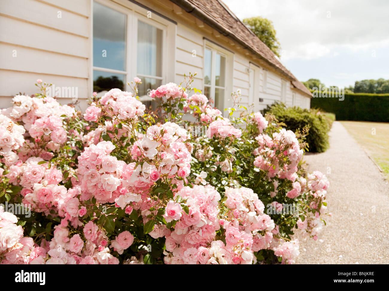 Rosa Strauchrose blüht in einem Cottage-Garten im Sommer, Kent UK Stockfoto