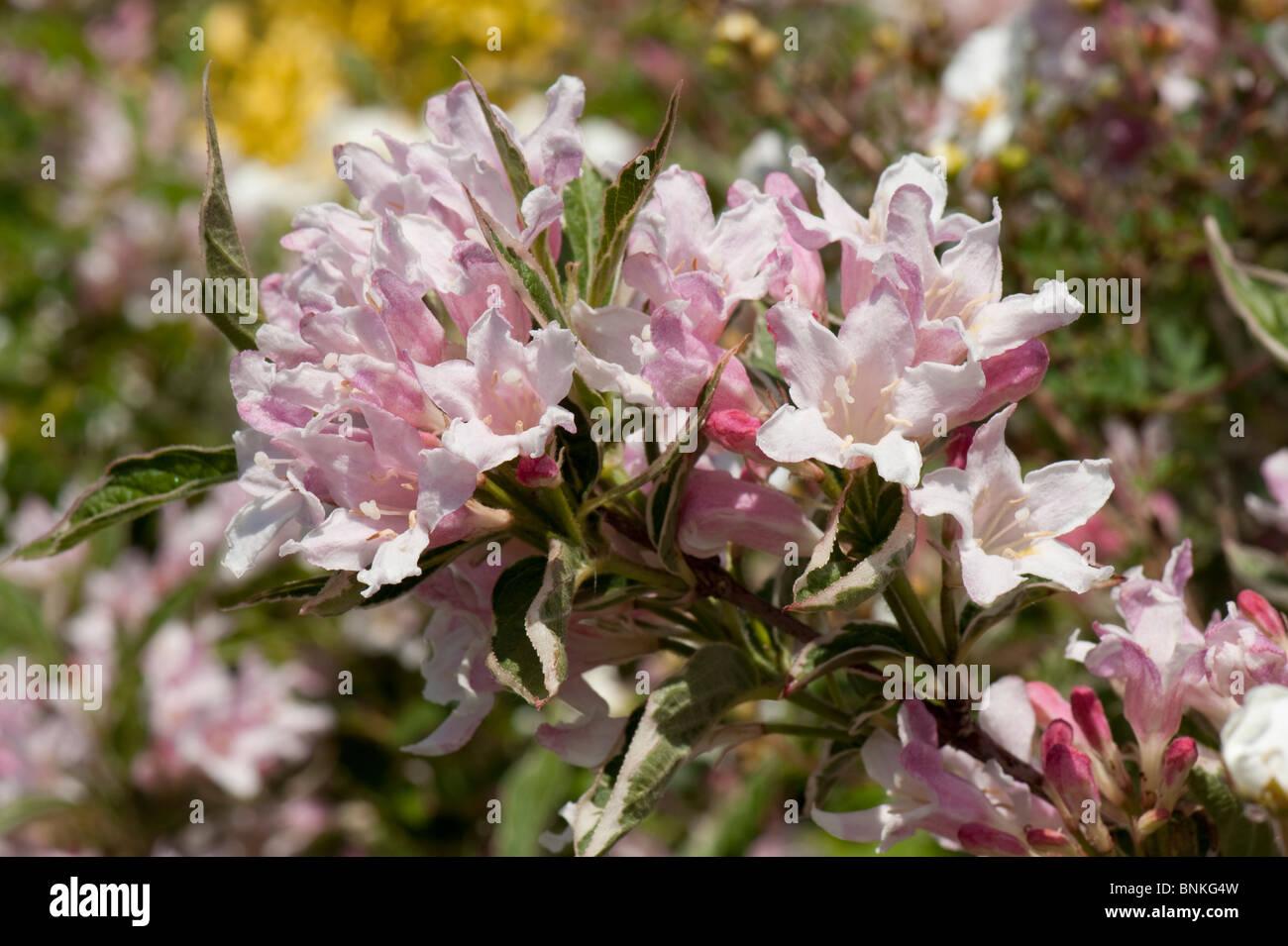 Weigela Florida Variegata Garten Blütenstrauch Stockfoto