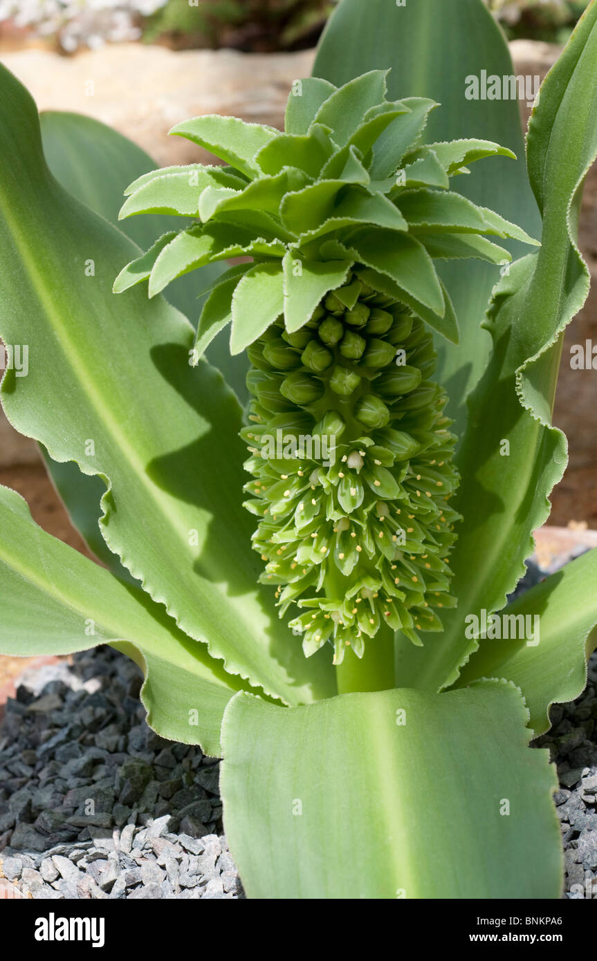 eucomis autumnalis, ananas blume oder ananas-lilie stockfoto, bild