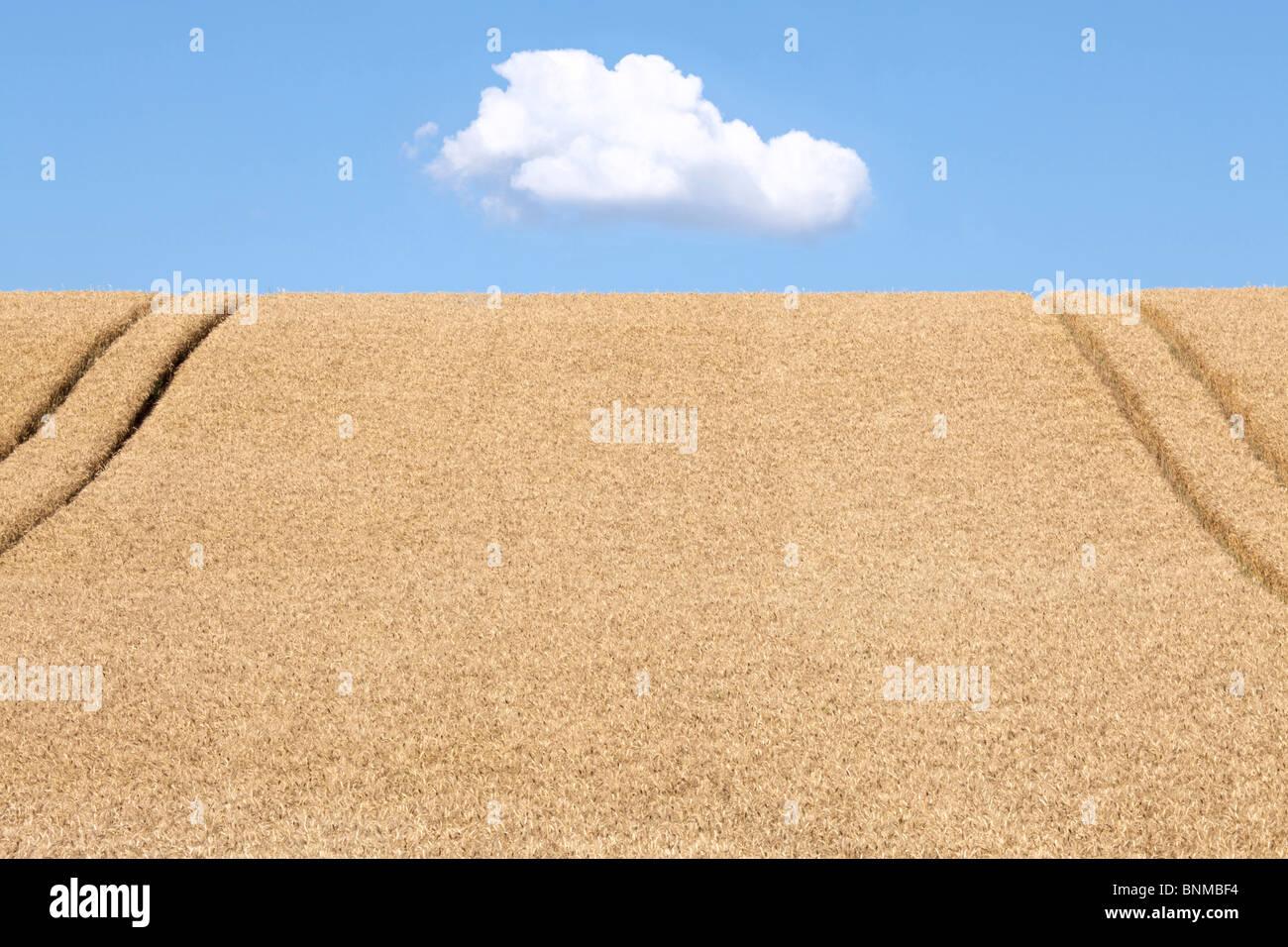 ein Feld von Weizen Stockbild