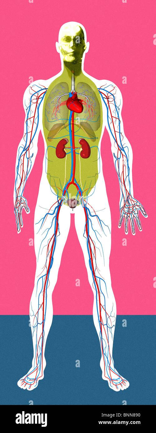 Groß Moderne Menschliche Anatomie Fotos - Menschliche Anatomie ...