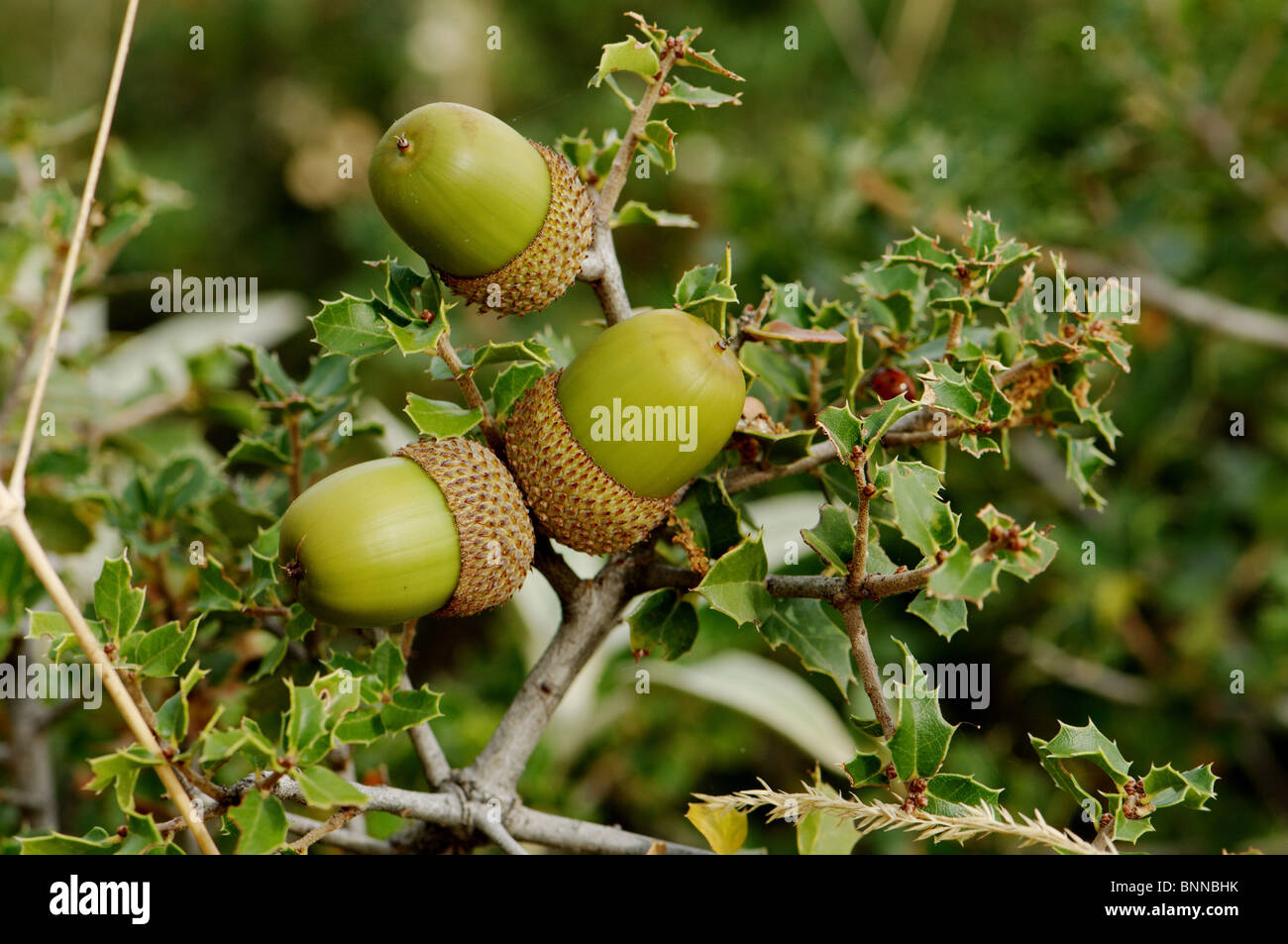 Kermes Eiche Quercus Coccifera Eiche Eiche Busch Baum Immergrün