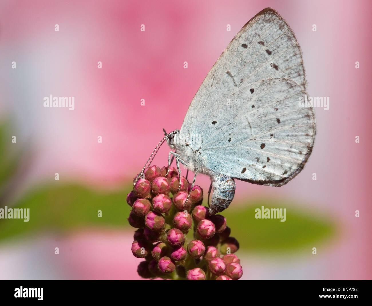 Holly Blue Butterfly in unserem Garten in Bispham, Blackpool Stockbild