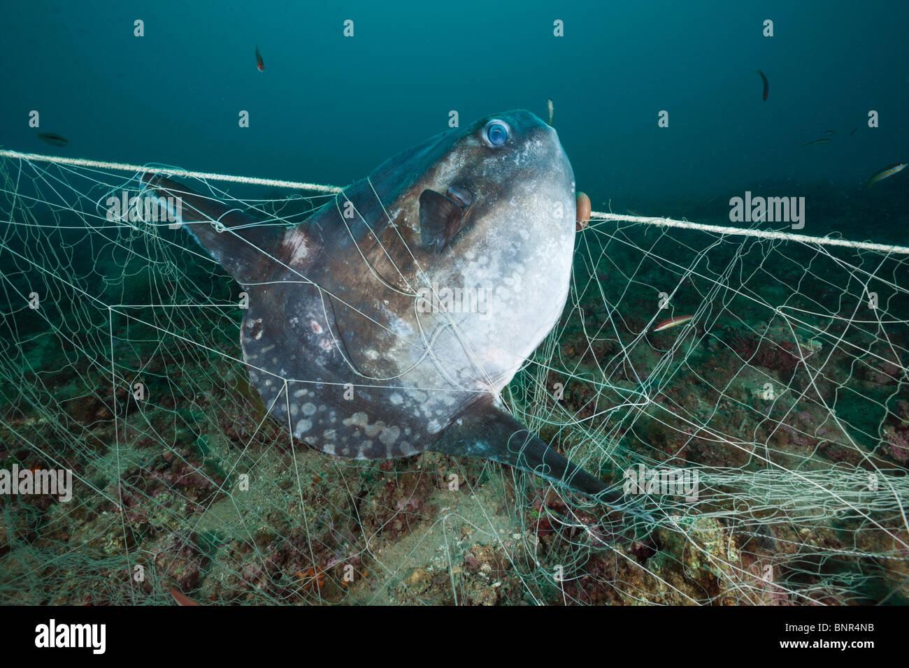 Mondfische gefangen im verlorenen Fischen Net, Mola Mola, Cap de Creus, Costa Brava, Spanien Stockbild