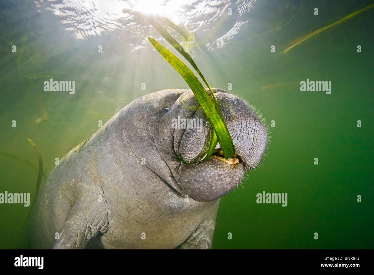 Florida-Manati, Trichechus Manatus Latirostris, Kälberfütterung auf Seegras. Stockbild