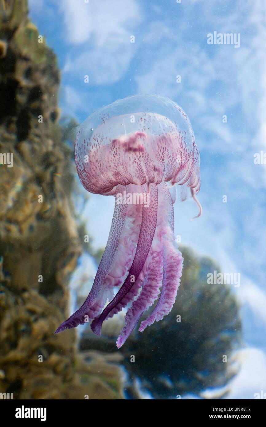 Mauve Stinger Quallen, Pelagia Noctiluca, Cap de Creus, Costa Brava, Spanien Stockfoto
