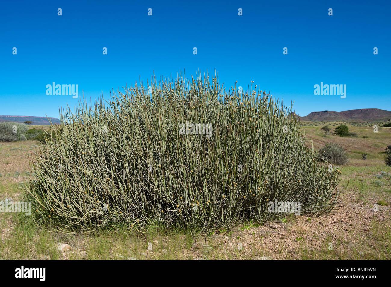 Darama Euphorbia Euphorbia Damarana endemische Arten an Palmwag in Namibia Stockbild