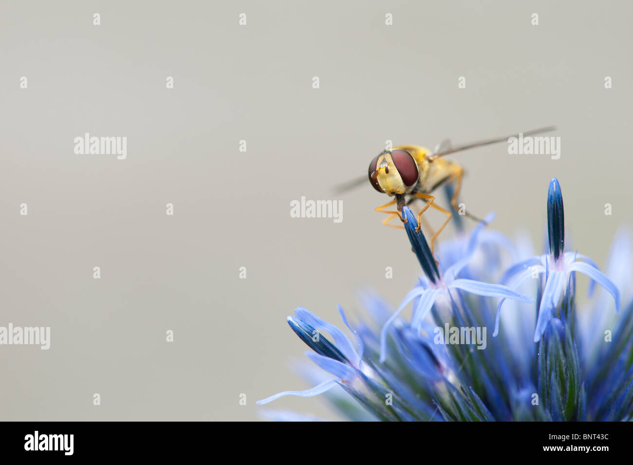 "Hoverfly auf eine Echinops Ritro 'Veitchs""(Globe Thistle) Blume Stockbild"