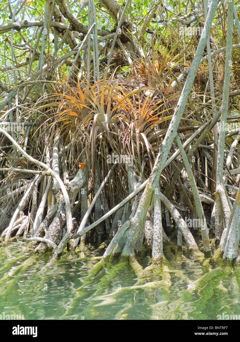 Bromelien-Luft-Anlage befindet sich im Gewirr von Mangrovewurzeln in ...