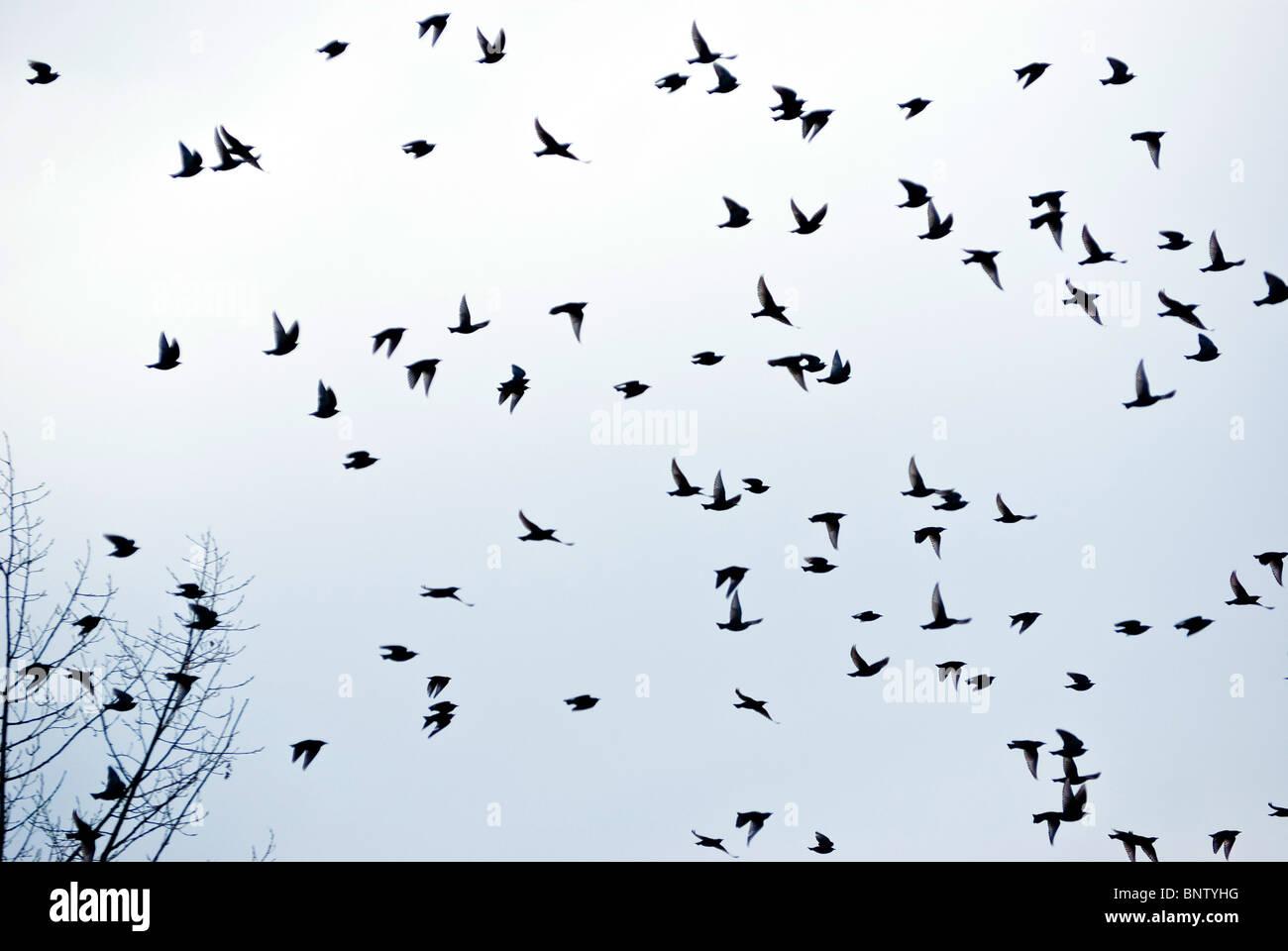 Vogelschwarm im Flug. Stockbild